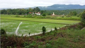 Rice growing in Thailand