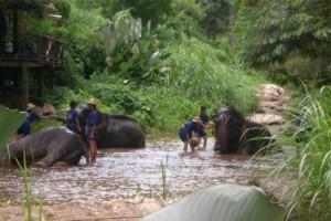 Elepphants bathing in Chiang Mai