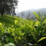 Green Tea 3 150×150